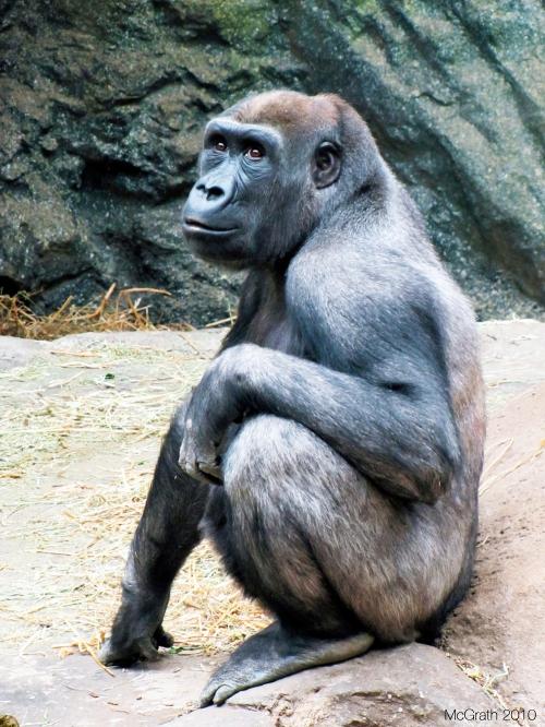 Gorilla, 2011