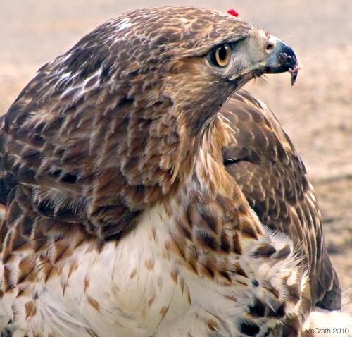 Hawk, 2011
