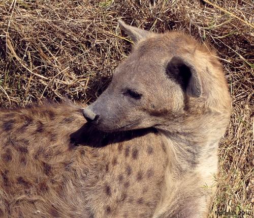 Hyena, 2010