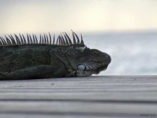 Iguana, 2010