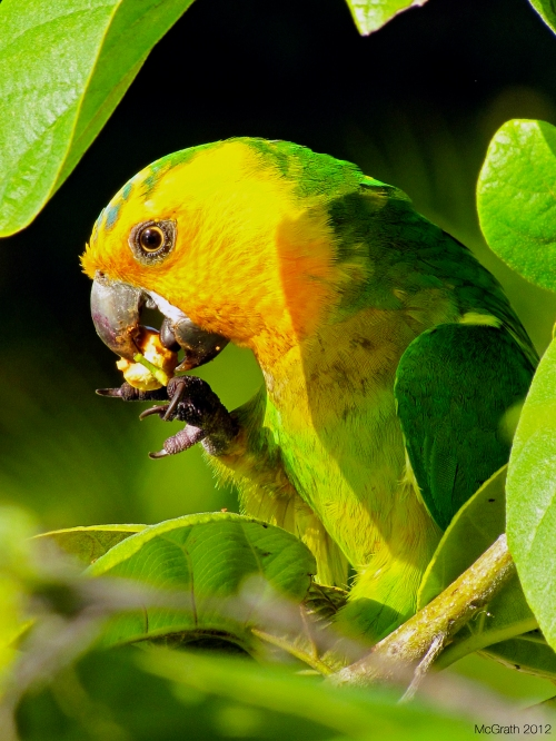 Brown-necked parakeet, 2012