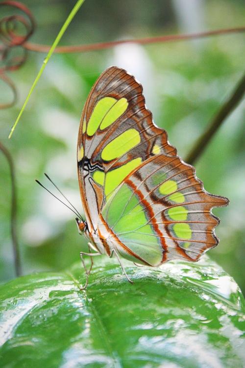 Malachite butterfly, Brazil, 2013
