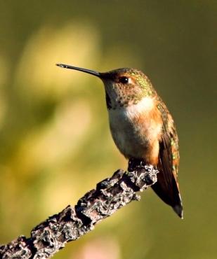 Rufous_hummingbird_female